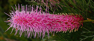 fleurs australie grevilleas